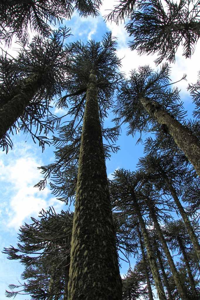 Чили парк Конгильо