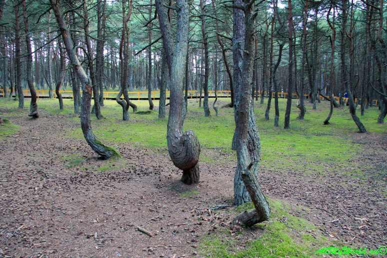 Куршская коса: Танцующий лес