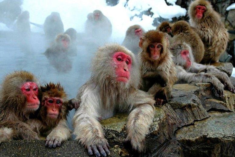 Достопримечательности Киото - Парк обезьян Иватаяма